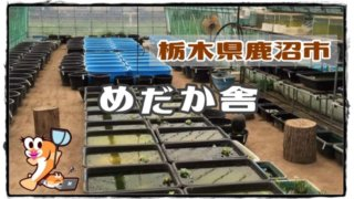栃木県のメダカ販売店のアイキャッチ